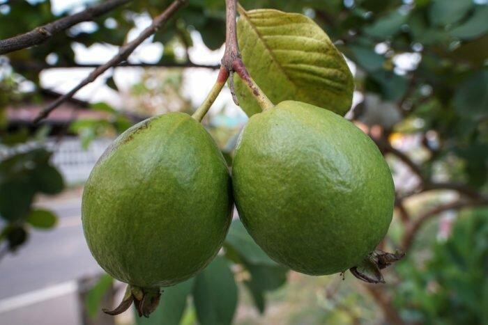 Zdjęcie: https://pixabay.com/ru/photos/guava-fruits-growth-food-list-3351709/