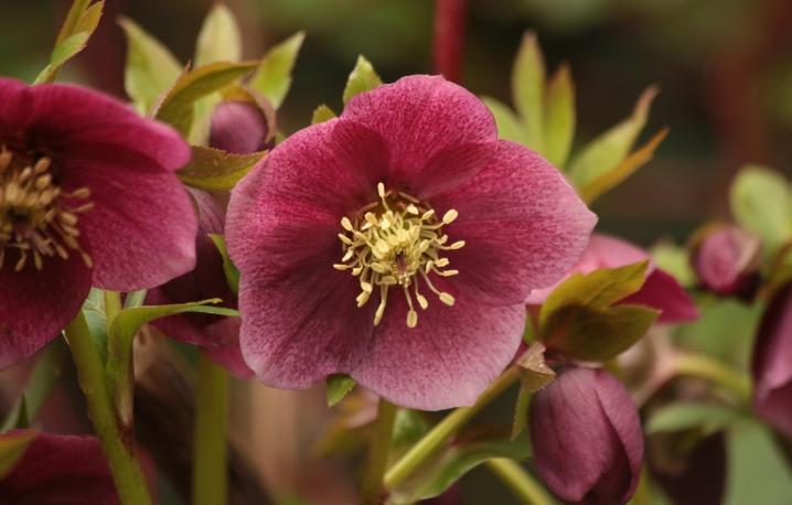 Ciemiernik: opis, rodzaje, zasady sadzenia i pielęgnacji
