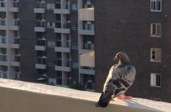 Dlaczego gołębie są niebezpieczne: zdjęcie