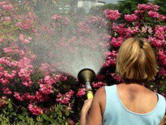 Rododendron: co to jest, zasady sadzenia i pielęgnacji