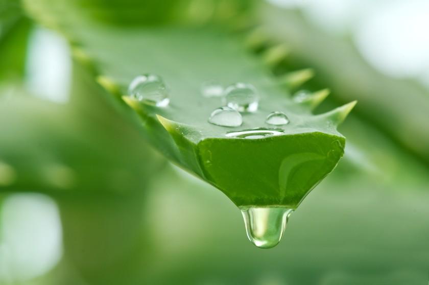 Sok i miąższ z aloesu są używane do przygotowywania leków w domu (fot. bagiraclub.ru)