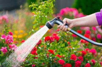 Jak podlewać róże